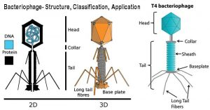 Bacteriophage- Structure, Classification, Application