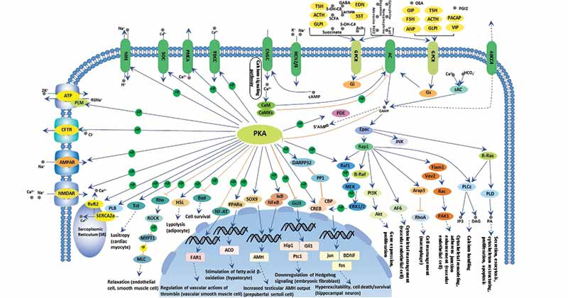 Cell signaling and cAMP-mediated pathway