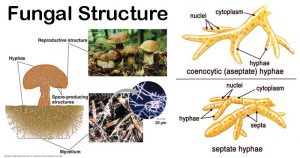 Fungal Structure