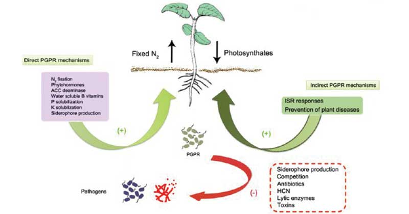 Plant Growth-Promoting Rhizobacteria (PGPR)