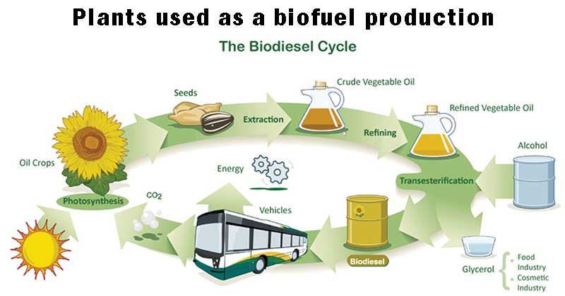 Plants used as a biofuel production