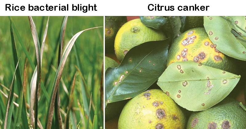 Rice bacterial blight and Citrus canker