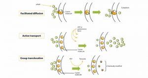 Solute Transport Mechanisms in Bacteria