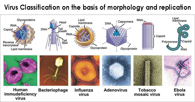 Virus Classification on the basis of morphology and replication