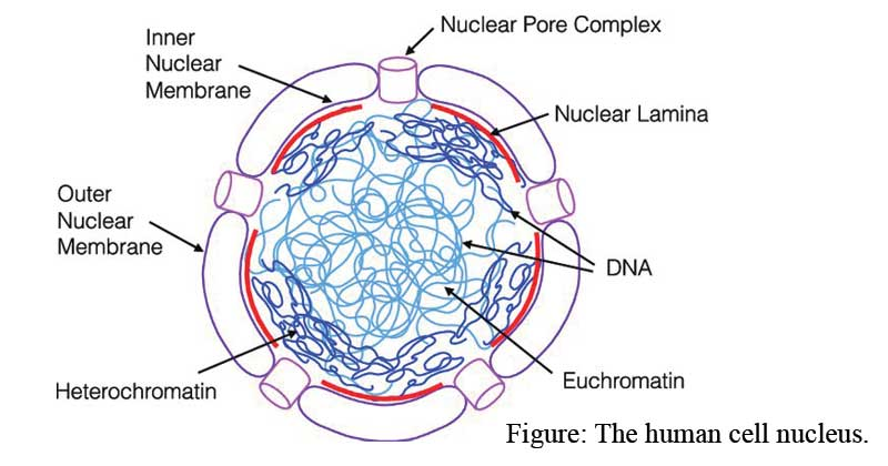 Detailed description of eukaryotic nucleus