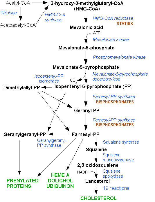 The Biosynthesis of HMG-CoA