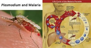 Plasmodium and Malaria
