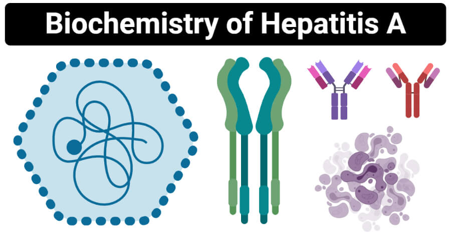 Biochemistry of Hepatitis A