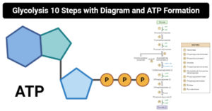 Glycolysis 10 Steps with Diagram and ATP Formation
