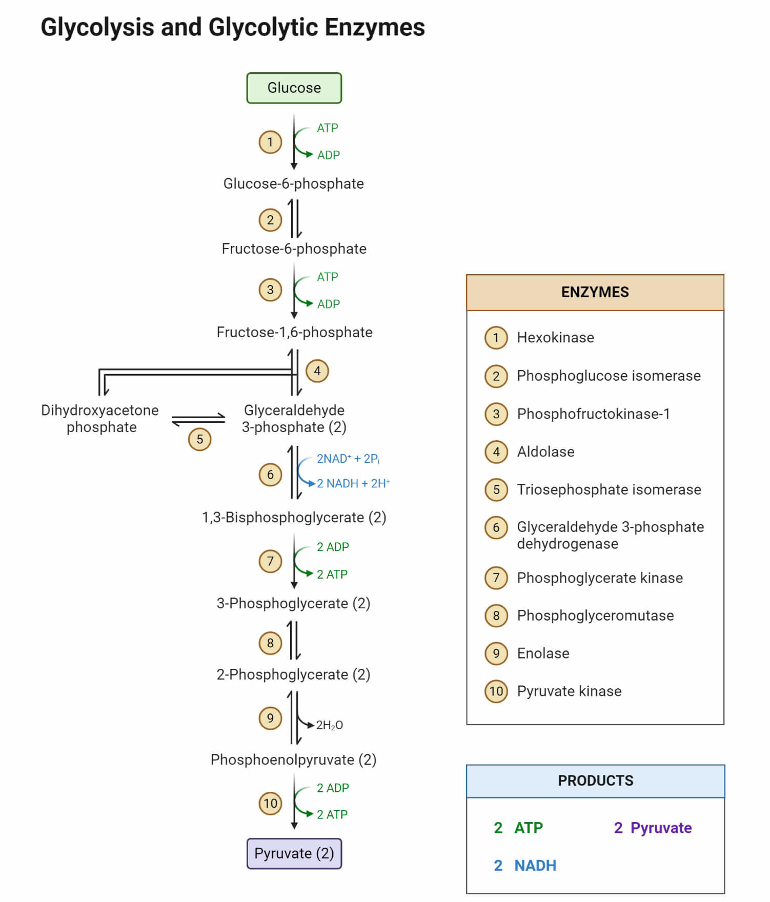 Glycolysis and Glycolytic Enzymes