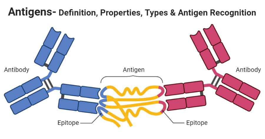 Antigens- Definition, Properties, Types & Antigen Recognition