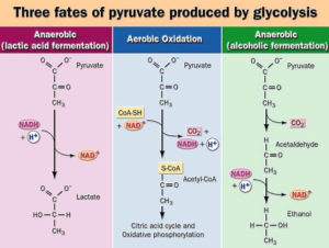 Fate of Pyruvate (Fate of End product of Glycolytic pathway)