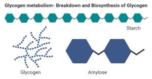 Glycogen metabolism- Breakdown and Biosynthesis of Glycogen