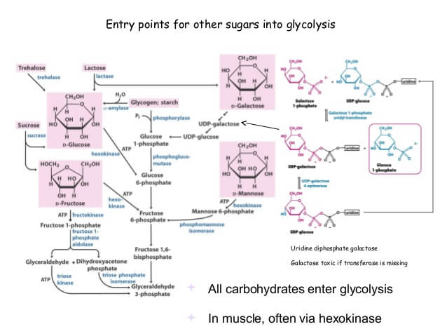 How other carbohydrates enter into glycolytic pathway