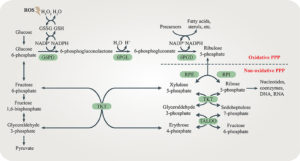 Pentose phosphate pathway (PPP)