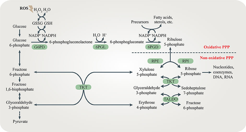 Pentose phosphate pathway (PPP)