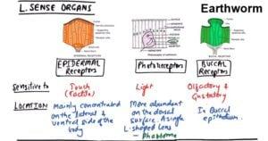 Sense organs of Earthworm