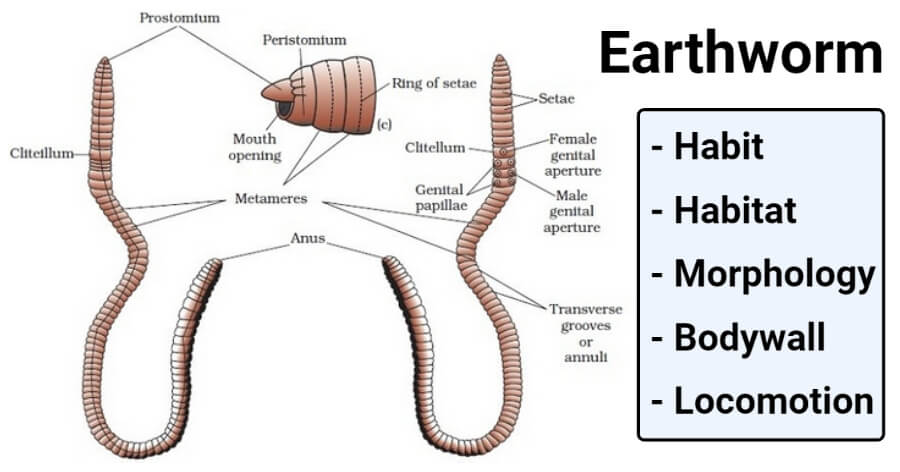Earthworm- Habit, Habitat, Morphology, Bodywall, Locomotion