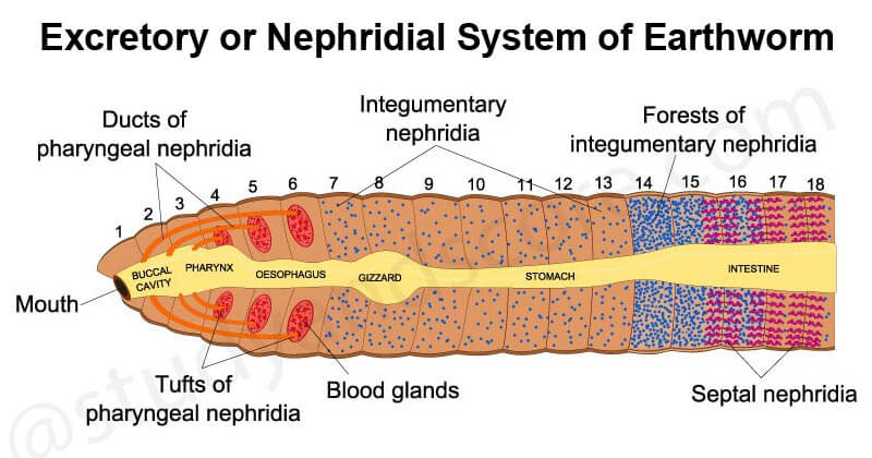 Excretory or Nephridial System of Earthworm