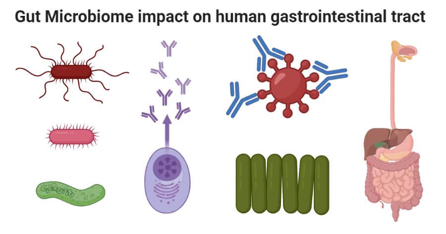 Gut Microbiome impact on human gastrointestinal tract