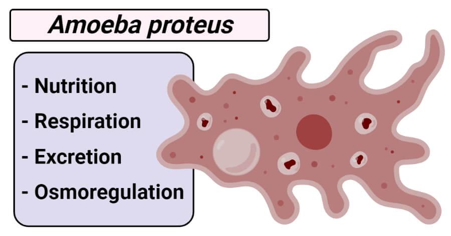 Amoeba proteus- Nutrition, Respiration, Excretion and Osmoregulation