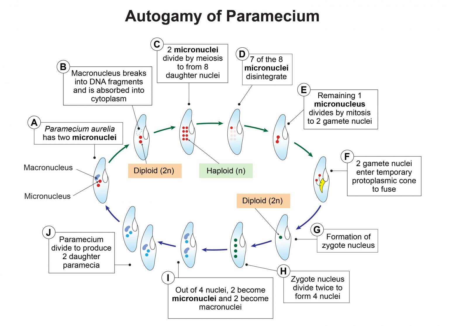 Autopamy of Paramecium