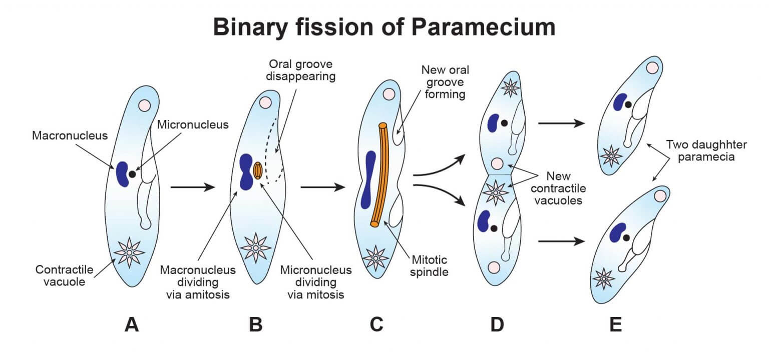 Binary fission of Paramecium