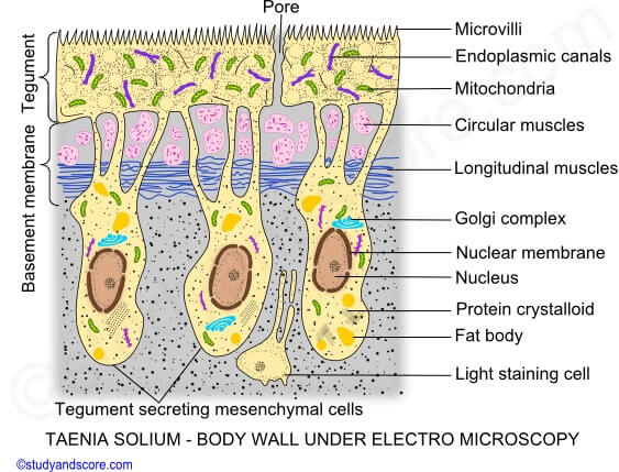 Body wall of Taenia solium