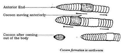 Cocoon formation in Earthworm