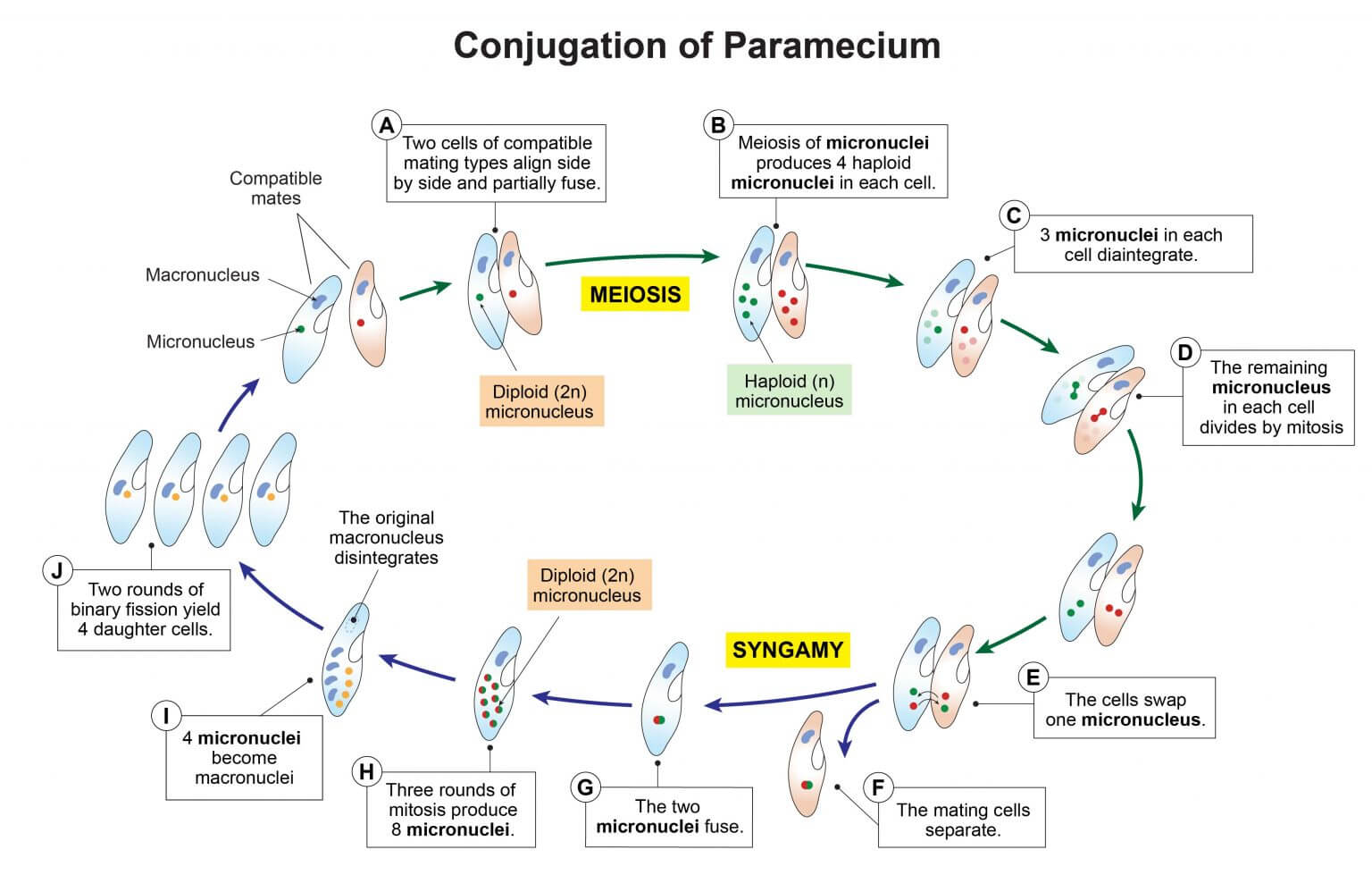 Conjugation of Paramecium