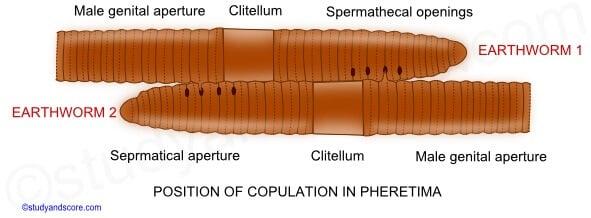 Copulation and fertilization of Earthworm