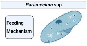 Feeding mechanism in paramecium