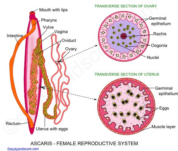 Female reproductive organs of Ascaris lumbricoides