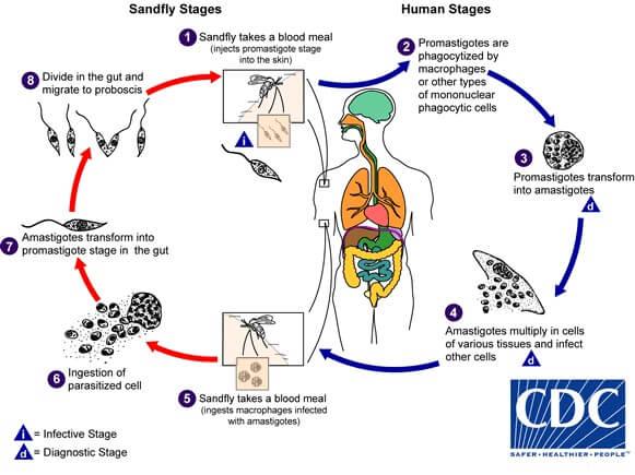 Life cycle of Leishmania donovani