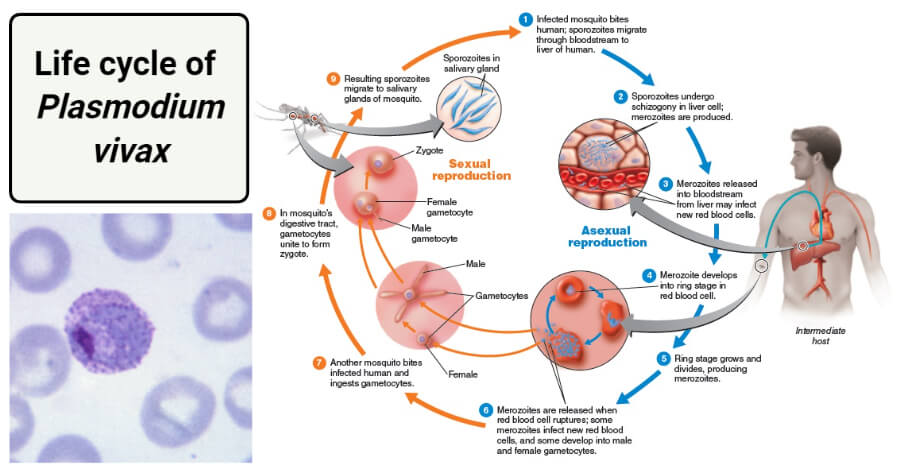 Life cycle of Plasmodium vivax