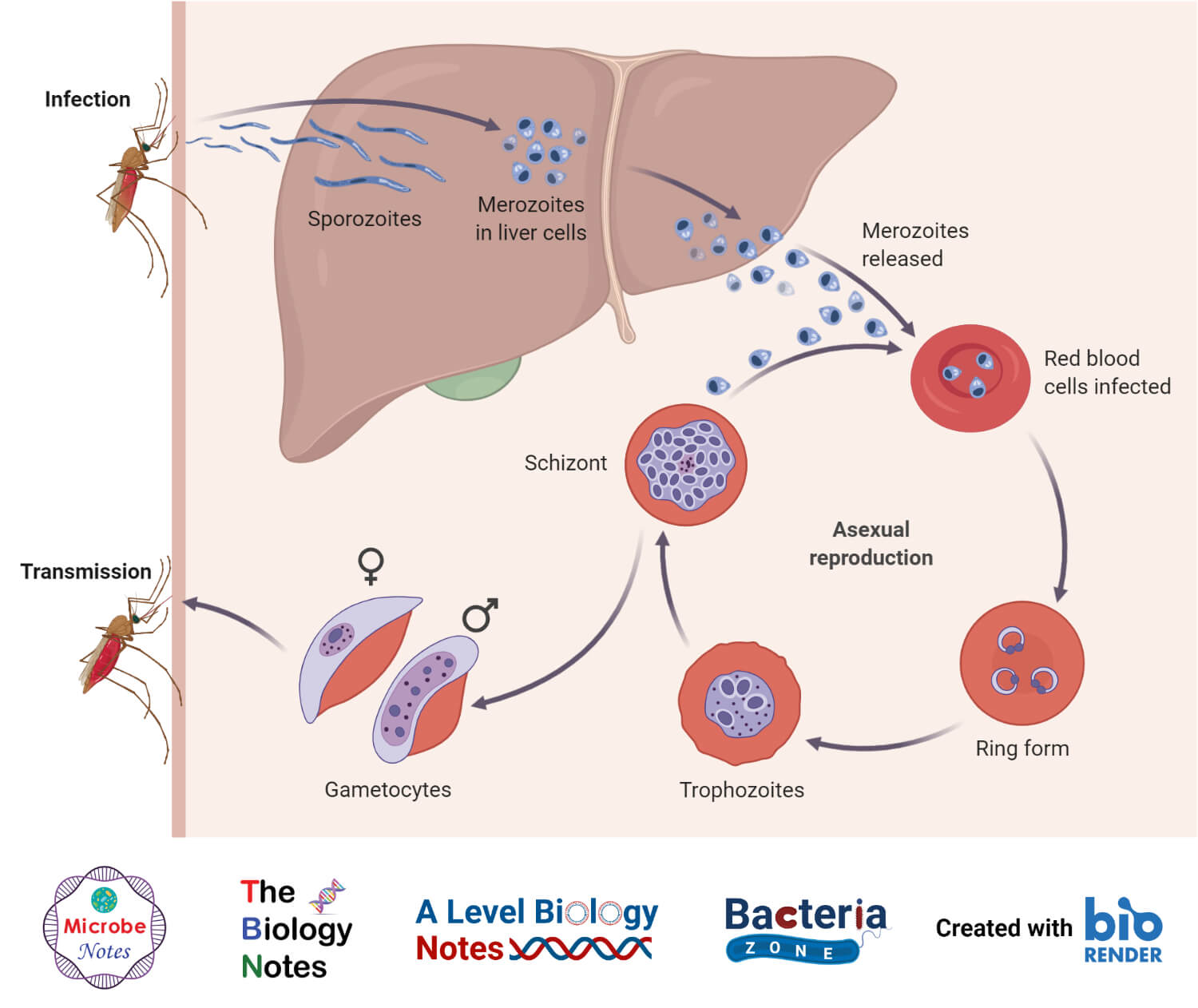Malaria Transmission Cycle- Asexual cycle or schizogony in man