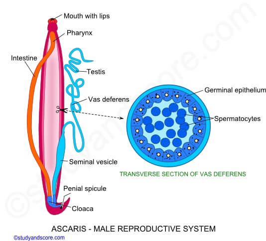 Male reproductive organs of Ascaris lumbricoides