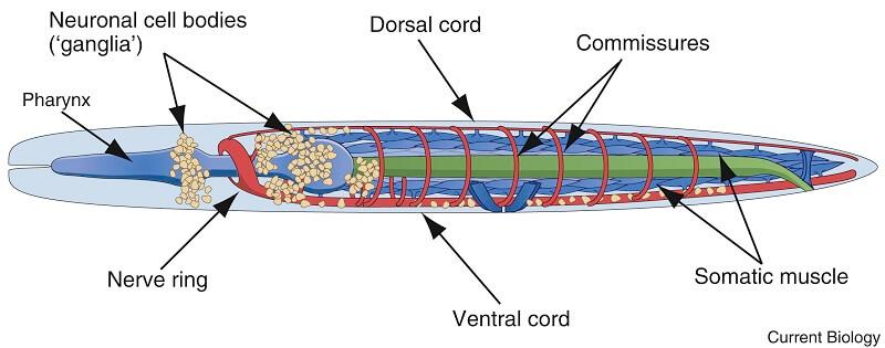 Nervous system of Ascaris lumbricoides