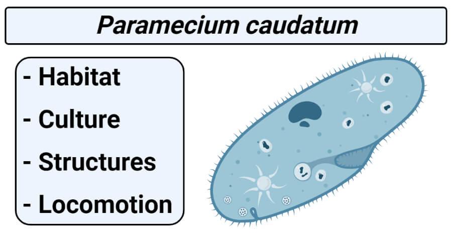 Paramecium caudatum- Habitat, Culture, Structures, Locomotion