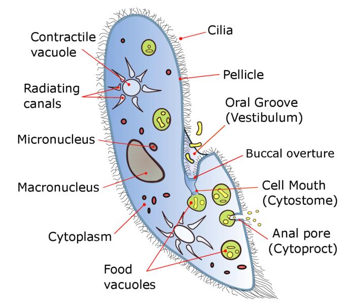 Paramecium caudatum Structure