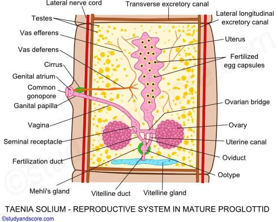 Reproductive system of Taenia solium