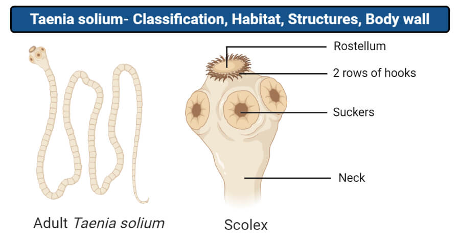 Structure of Taenia solium