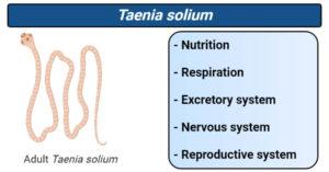 Taenia solium- Nutrition, respiration, excretory, nervous, reproductive system