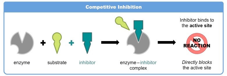 Competitive inhibition of enzymes