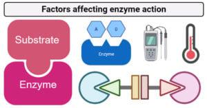 Factors that affect enzyme action