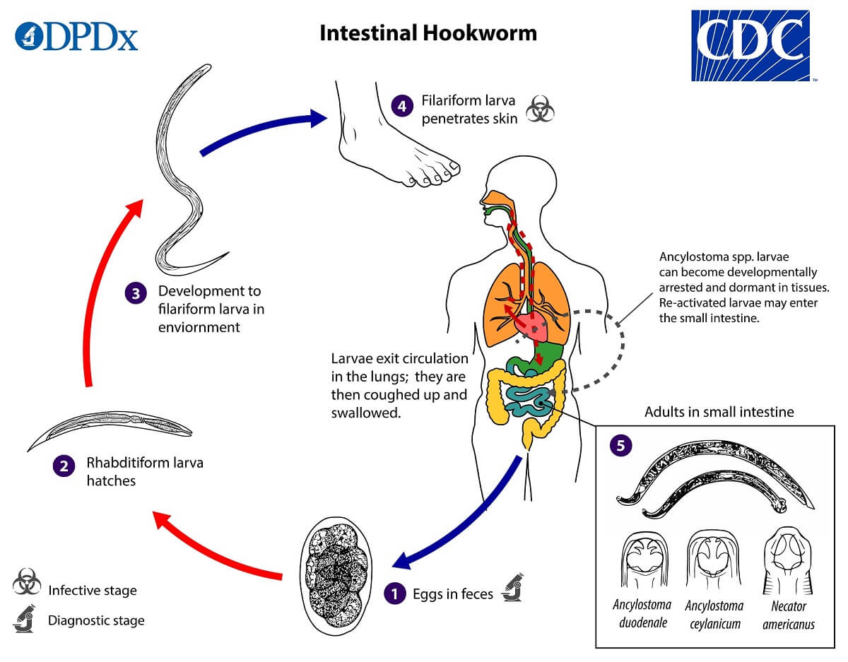 Life cycle of Ancylostoma duodenale