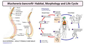 Wuchereria bancrofti- Habitat, Morphology and Life Cycle