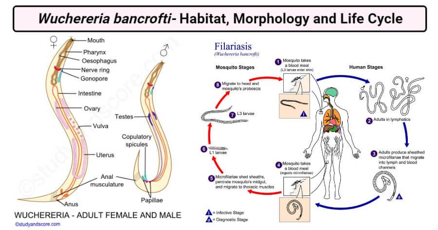 Wuchereria bancrofti- Habitat, Morphology and Life Cycle