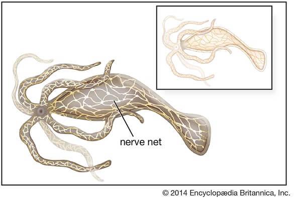 Nervous system inHydra