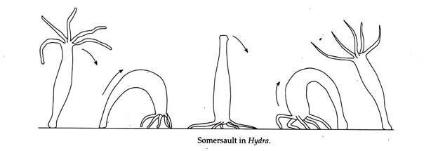 Somersaulting in Hydra
